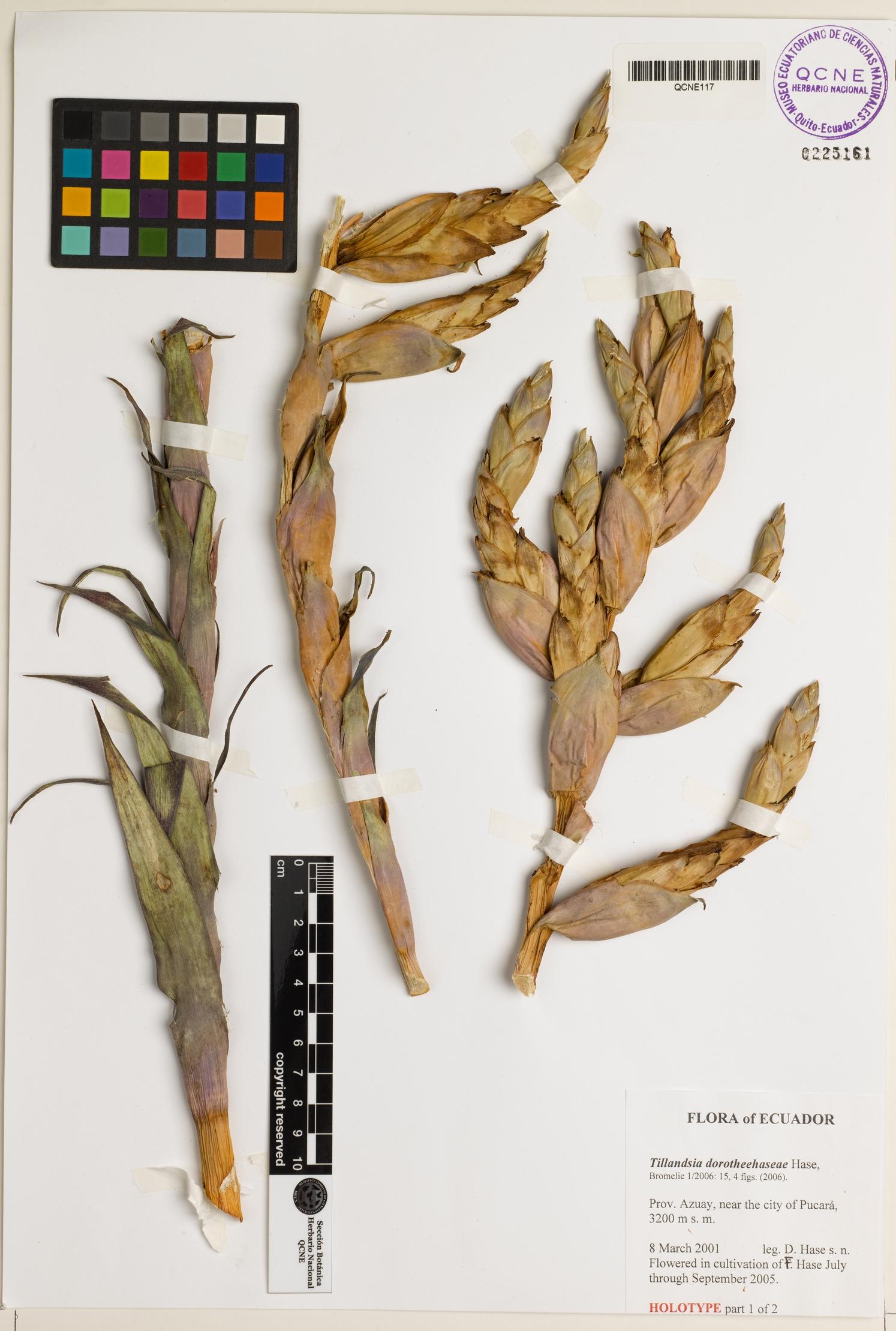Tillandsia dorotheehaseae image