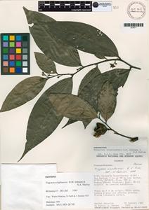Trigynaea triplinervis image